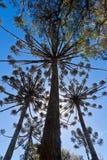 Árboles de pino de la araucaria Fotos de archivo