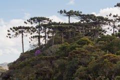 Árboles de pino de la araucaria Imágenes de archivo libres de regalías