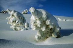Árboles de pino de la nieve Foto de archivo libre de regalías