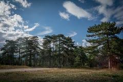 Árboles de pino de montaña Imagenes de archivo