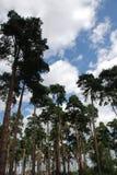 Árboles de pino debajo de un cielo azul nublado Imagenes de archivo
