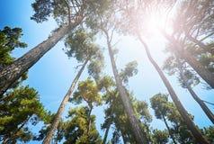 Árboles de pino debajo del sol Fotografía de archivo