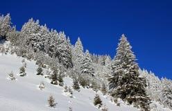 Árboles de pino del invierno Fotografía de archivo