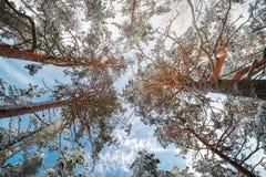 Árboles de pino del invierno en nieve abajo encima de la visión Foto de archivo