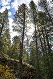 Árboles de pino elevados Fotografía de archivo