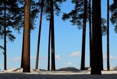 Árboles de pino en el borde Foto de archivo libre de regalías