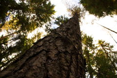 Árboles de pino en el bosque Imágenes de archivo libres de regalías