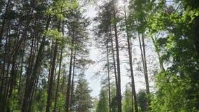 Árboles de pino en el bosque contra el cielo almacen de video