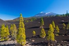 Árboles de pino en el campo de lava, Pico del Teide, Tenerife, España fotos de archivo