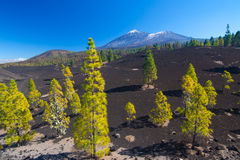 Árboles de pino en el campo de lava, Pico del Teide, Tenerife, España foto de archivo libre de regalías