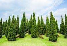 Árboles de pino en el chiangmai real Tailandia del jardín de la flora Fotografía de archivo libre de regalías