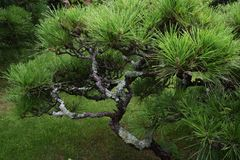 Árboles de pino en el jardín japonés Imagenes de archivo