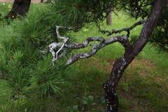 Árboles de pino en el jardín japonés Fotografía de archivo libre de regalías