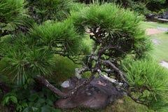 Árboles de pino en el jardín japonés Fotografía de archivo