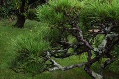 Árboles de pino en el jardín japonés Fotos de archivo