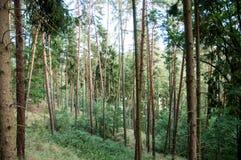 Árboles de pino en el más forrest Fotografía de archivo libre de regalías