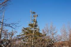 Árboles de pino en el monte Fuji Imagenes de archivo