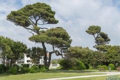 Árboles de pino en el parque, primavera Fotos de archivo