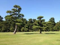 Árboles de pino en el prado Fotografía de archivo