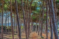 Árboles de pino en hdr Foto de archivo