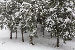 Árboles de pino en invierno foto de archivo libre de regalías