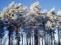 Árboles de pino en invierno Fotos de archivo