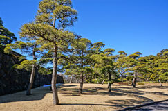 Árboles de pino en jardín real Imagen de archivo libre de regalías