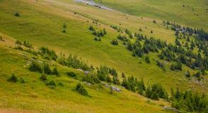 Árboles de pino en la alta altitud Imagen de archivo