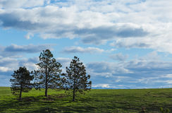 Árboles de pino en la colina Fotografía de archivo