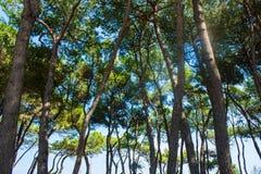 Árboles de pino en la costa de la ciudad Alba Adriatica en Italia, fondo de la naturaleza Imágenes de archivo libres de regalías