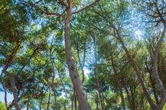 Árboles de pino en la costa de la ciudad Alba Adriatica en Italia, fondo de la naturaleza Imagen de archivo