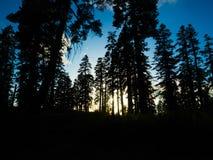 Árboles de pino en la montaña del bosque del Estado de la secoya Imagen de archivo libre de regalías