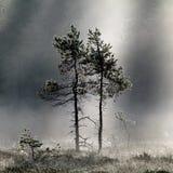 Árboles de pino en la niebla de la mañana Foto de archivo