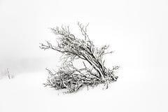 Árboles de pino en la nieve delante de una ventisca Fotos de archivo