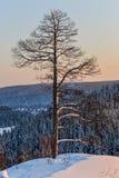 Árboles de pino en la nieve en la puesta del sol en las montañas imágenes de archivo libres de regalías
