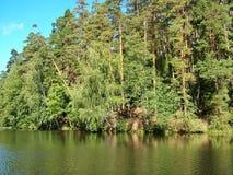 Árboles de pino en la orilla del río Foto de archivo libre de regalías