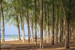 Árboles de pino en la playa Imágenes de archivo libres de regalías