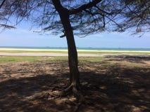 Árboles de pino en la playa de la arena imagen de archivo libre de regalías