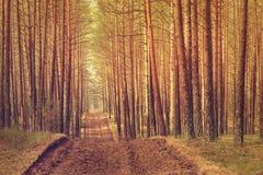 Árboles de pino en la puesta del sol Imagenes de archivo