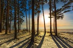 Árboles de pino en la puesta del sol Siberia occidental, Rusia Fotos de archivo