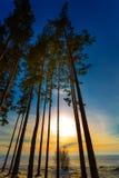 Árboles de pino en la puesta del sol Siberia occidental, Rusia Foto de archivo