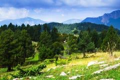 Árboles de pino en las montañas Imagen de archivo libre de regalías