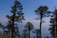 Árboles de pino en naturaleza en fondo del cielo azul Imagenes de archivo