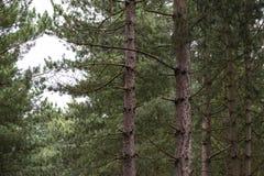 Árboles de pino en un bosque Fotografía de archivo