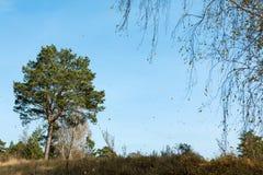 Árboles de pino en un bosque del otoño Fotografía de archivo libre de regalías
