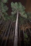 Árboles de pino en un bosque en la noche Fotos de archivo