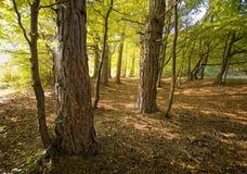 Árboles de pino en un bosque hermoso en un otoño imagen de archivo