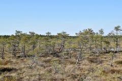 Árboles de pino en un pantano Foto de archivo