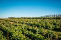 Árboles de pino en una fila en una plantación Imágenes de archivo libres de regalías