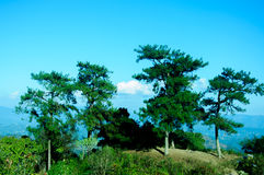 Árboles de pino en una montaña Fotografía de archivo libre de regalías